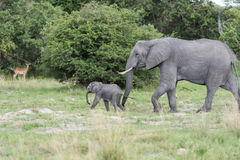 A young elephant. Being pushed by the mother to move on and cross the open area. The photo was taken in the Okavango Delta of Botswana Stock Image