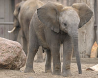 Young elephant. Three quarters view, with adult elephant on the background Royalty Free Stock Photography