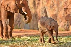 Young elephant Stock Photos