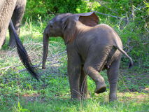 Young elephant. Young african elephant following the mother Royalty Free Stock Photo