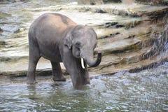 Young elephant bathing. Young asian elephant bathing at Wildlands, Emmen royalty free stock images