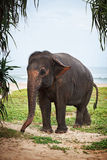 Young elephant on the beach Royalty Free Stock Photo