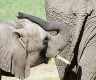 Young elephant behind mother Stock Photography