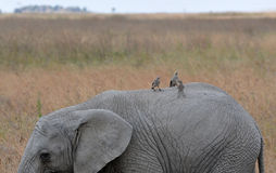 Young elephant with birds - Serengeti (Tanzania) Stock Photos