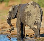 Young Elephant with branch Stock Image