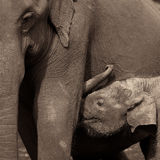 Young elephant breastfeeding from its mother Stock Image