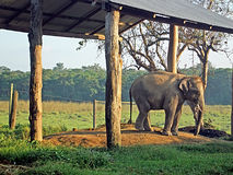 Young elephant in the breeding centre Chitwan National Par Royalty Free Stock Photo