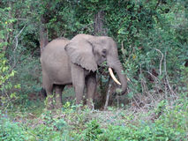 A young elephant bull. In the jungle in Kenya Stock Photo