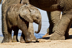 Young Elephant Calf Royalty Free Stock Photography