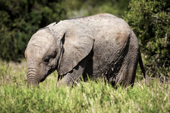 Young elephant calf. Stock Images