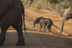 Young elephant calf crossing dirt road Stock Photo