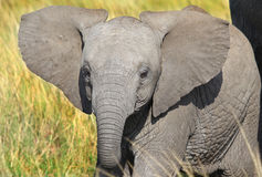 A young elephant calf in the grass in the masai mara Royalty Free Stock Image