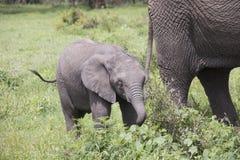 Young elephant calf grazing, Ngorongoro Crater, Tanzania. Yount elephant calf grazing in Ngorongoro Crater, Tanzania, Africa stock images