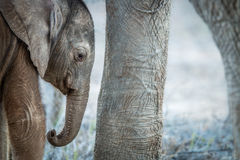 A young Elephant calf in between the legs of an adult Elephant. A young Elephant calf in between the legs of an adult Elephant in the Kruger National Park Stock Image