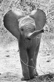 A young elephant calf in a mock charge. An elephant calf with ears out and trunk up in black & white stock images