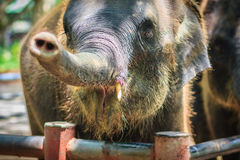 Young elephant is chained and it eye with tears look so pitiful. Stock Photo