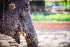 Young elephant is chained and it eye with tears look so pitiful. Royalty Free Stock Images