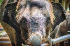 Young elephant is chained and it eye with tears look so pitiful. Royalty Free Stock Photo