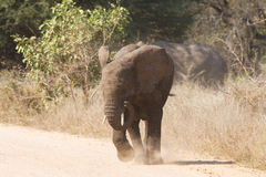 Young elephant charge aggressive along a road to chase danger Stock Photos