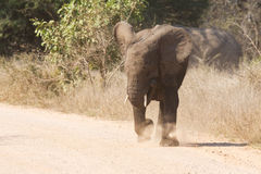 Young elephant charge aggressive along a road to chase danger Stock Photo