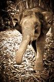 Young Elephant charging Photographer. Elephant shot on the island of ko phangan, thailand Stock Images