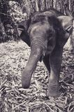 Young Elephant charging Photographer. In Thailand Royalty Free Stock Photo