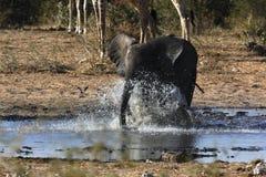 Young Elephant chasing birds. Young Elephant (Loxodonta africana) chasing birds at a waterhole in Etosha N.P. in Namibia Stock Image