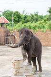 The young elephant is in the circus Royalty Free Stock Photo