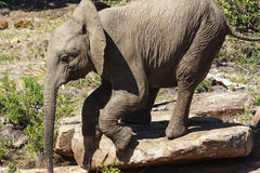 Young Elephant. Climbing down a rock at a game park in South Africa Stock Images