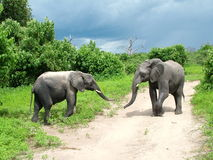 Young Elephant Couple. Meeting of young loving elephants Royalty Free Stock Photo