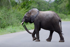 Young elephant crossing a road. Elephant crossing a road in Kruger national park while enjoying some foliage Royalty Free Stock Photography