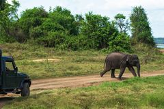 Young elephant crossing road at National Park. In Sri Lanka Stock Photos