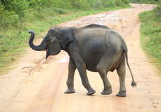 Young elephant crossing road Stock Image