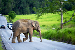 The young elephant crossing the road. To enter the lush forest Royalty Free Stock Image