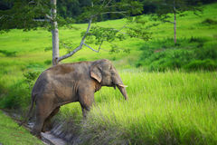 The young elephant crossing the road. To enter the lush forest Stock Images