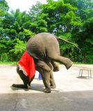 Young elephant doing tricks in Thailand. The young elephant doing tricks in Thailand Royalty Free Stock Images