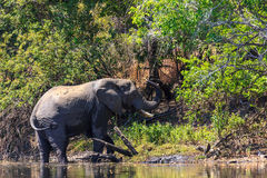 Young elephant dring water in a river Stock Photo