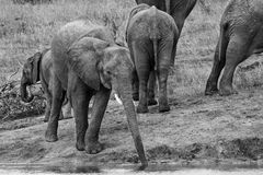 Young elephant drink water with long trunk Stock Photo