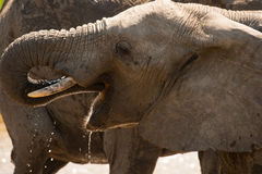 Young elephant drinking Royalty Free Stock Images