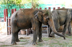 Young Elephant eating. Young and small Elephant eating stock image