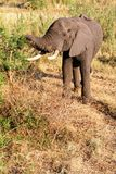 Young Elephant Eating Royalty Free Stock Images