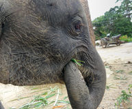 Young elephant eating Royalty Free Stock Image