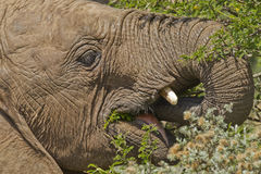 Young elephant eating Stock Image