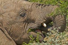 Young elephant eating stock image