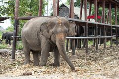 Young elephant eating dry grass. Aodorable young baby elephant eating dry grass in front of the shed, Ayutthaya, Thailand Stock Photography