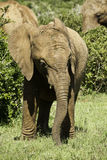 Young elephant eating grass Stock Image