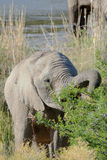Young elephant is eating leaves. At masi mara national park Stock Photos