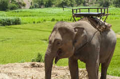 Young elephant in elephant camp. Royalty Free Stock Photo