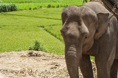 Young elephant in elephant camp. Stock Photo