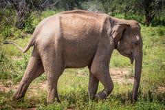 Young elephant Elephas maximus at Minneriya Minneria national park, Sri Lanka, South Asia.  stock photos